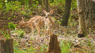 Stock Video Footage of Whitetail Deer Baby