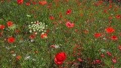 Rememberance beautiful wild red poppy field Stock Footage