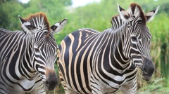 Zebras on safari in South Africa Stock Footage