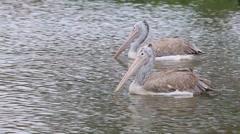 Spot-billed pelican Stock Footage