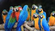 Stock Video Footage of Colorful Macaw Birds
