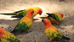 Sun Conure Parrots Stock Footage