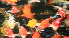 Fancy Carps (Koi Fish) Swimming in a Pond Stock Footage