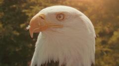 Bald Eagle in 4K UHD - stock footage