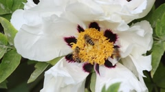 The peony flowers and bees close-up - stock footage