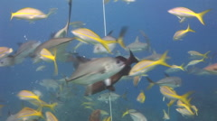 Underwater world of the Bahamas. Diving on feeding of sharks. - stock footage