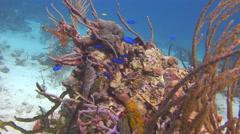 Underwater Bahamas. Blue fish. - stock footage