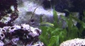 Black and yellow striped seawater fish eating sand Footage
