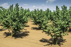 hazel tree plantation - stock photo