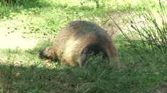 Alpine marmot (marmota marmota) on grassy slope creating a burrow - digging Stock Footage