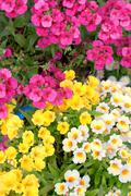 colorful namesia flowers(nemesia strumosa) - stock photo