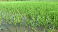 Vietnam Phú Mỹ district villages 001 green rice field in rural area Stock Footage