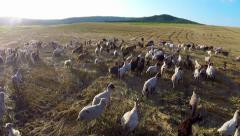 Aerial view of grazing animals on fertile land - stock footage