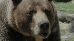 Grizzly Bear closeup in 4K Stock Footage