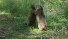 Alpine marmot (marmota marmota) standing upright in playful fight and scare away Stock Footage