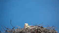 White storks on the nest Stock Footage