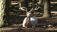 Leucistic Fawn Deer buck (cervus dama) resting - on camera Stock Footage