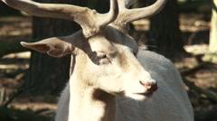 Leucistic Fawn Deer buck (cervus dama) ruminate, close up - on camera Stock Footage