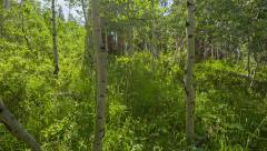 Young aspen trees walking through Stock Footage