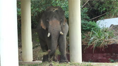 Stock Video Footage of Asian elephant chained
