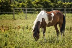 Appaloosa horse in a pasture Stock Photos