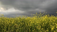 Blossom rape field, yellow flowers and dramatic sky with dark clouds 4K Stock Footage