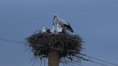 Mother stork feeding baby stork in the nest, dark blue sky background 4K Stock Footage