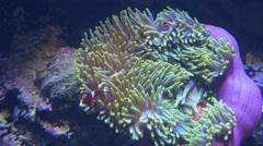 Two orange percula clownfish and anenome Stock Footage