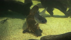 Australian platypus feeding Stock Footage