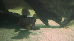 Platypus päällysteet Arkistovideo