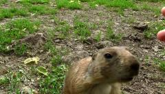 Petting a Prairie Dog - HD - 60fps - stock footage