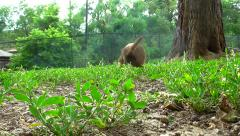 Prairie Dog Approaches Camera - HD - 60fps Stock Footage