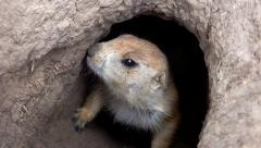 Prairie Dog in Hole - HD - 60fps Stock Footage