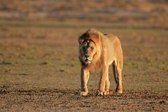 Stock Photo of Big male african lion walking