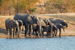 Herd of elephants drinking water Stock Photos