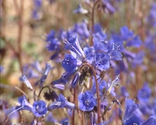 Phacelia campanularia, Desert Bluebells blooming in desert - medium shot Stock Footage