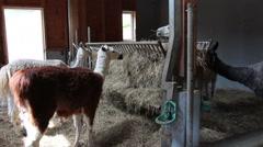 Alpacas on a farm Stock Footage