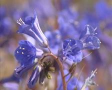 Phacelia campanularia, Desert Bluebells blooming - close up Stock Footage