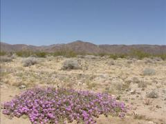 Sand Verbena (Abronia villosa) blooming in Colorado Desert + pan landscape Stock Footage