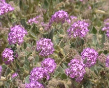 Sand Verbena (Abronia villosa) blooming in Colorado Desert - full screen Stock Footage