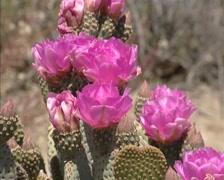 Pink Beavertail Cactus flower in full bloom - side view Stock Footage