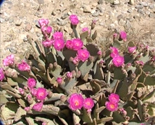 Pink Beavertail Cactus flower in full bloom on a dry, rocky desert slope Stock Footage