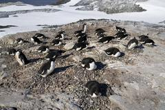 Adelie penguin colony on one of the sunny day antarctic islands Stock Photos