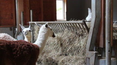 Alpacas on a farm in a stable Stock Footage
