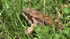 Frog in the grass Stock Footage
