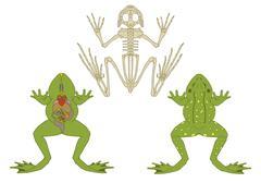 Frog morphology Stock Illustration