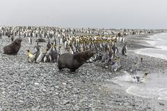 Antarctic fur seal charging through king penguins Stock Photos