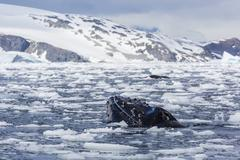Adult spy-hopping in Cierva Cove, Antarctica, Polar Regions Stock Photos