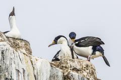 Nesting chick on Petermann Island, Antarctica, Polar Regions Stock Photos