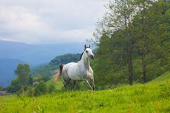 gray arab horse gallops on a green meadow - stock photo